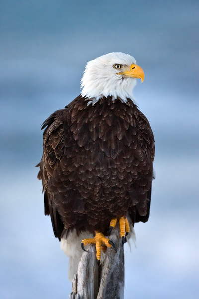 Eagles of Homer, Alaska