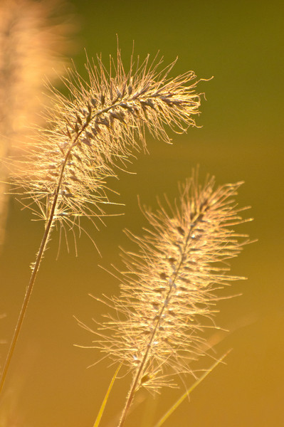Grass at sunset.jpg