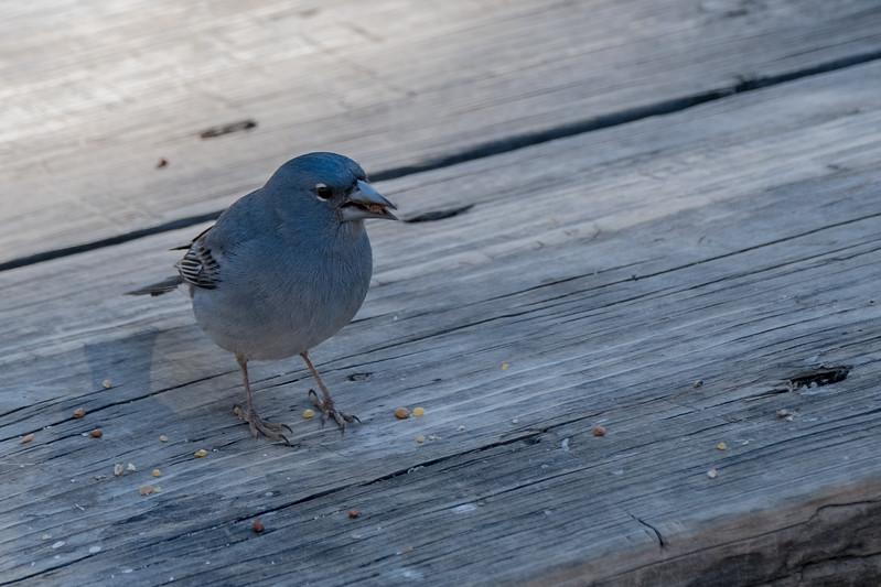 zięba modra | tenerife blue chaffinch | fringilla teydea