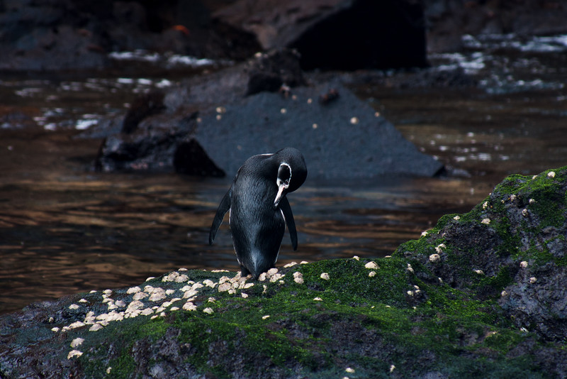 Lone Galapagos Penguin : Journey into Genovesa Island in the Galapagos Archipelago