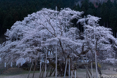 190406Usuzumi Sakura