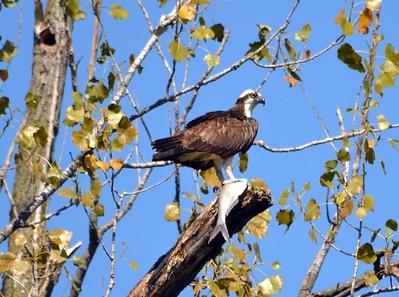 Osprey_Cuivre River State Park