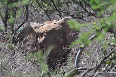 Afrotheria - Elephants and close relatives - Elefant und Verwandte