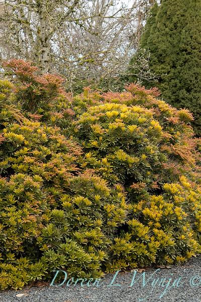 Pieris japonica 'Prelude' in winter_0558.jpg