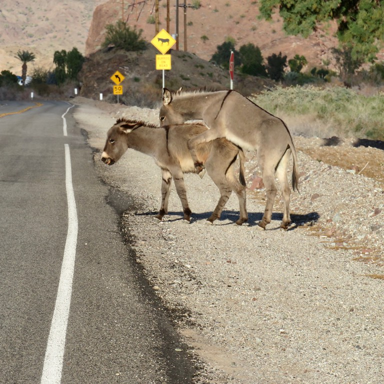 wild burros getting busy