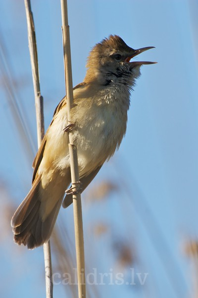 Great Reed Warbler signs perched on a reed in the lake Kaņieris