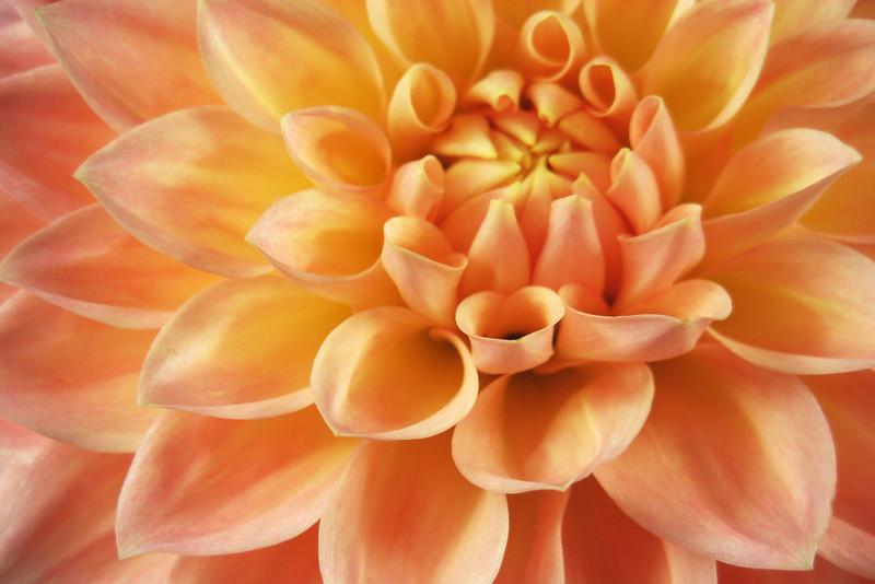 Orange Dahlia FLW023.jpg