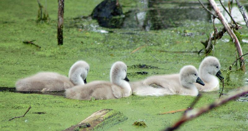 Swan babies_edited-1.jpg