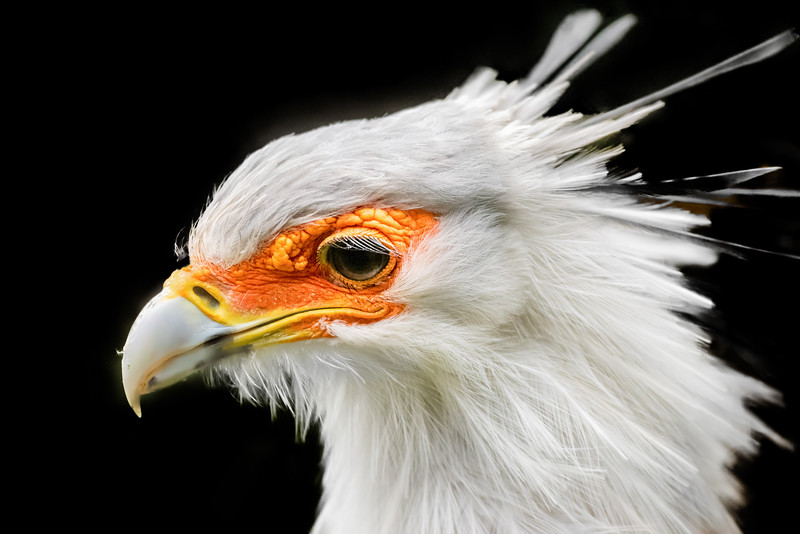 Secretarybird sideward head close-up
