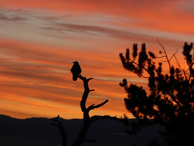 Ravens at Sunrise