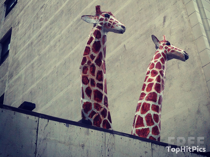 Two Giraffes Having a Peek Over a Wall in Downtown, Los Angeles!
