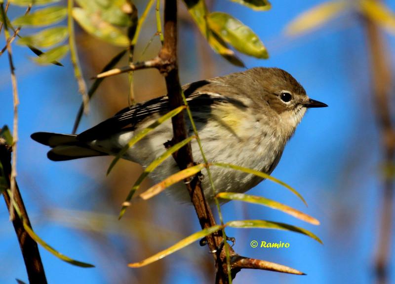 Yellow-rumped Warbler IMG_0605.jpg