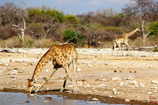 Giraffe Drinking in Etosha National Park, Namibia 1