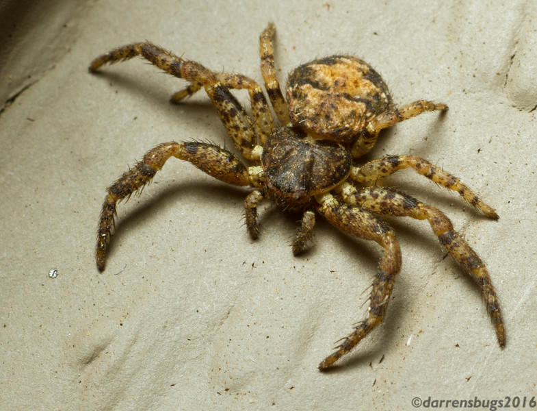 Bark crab spider, genus Bassaniana, at my porch light (Iowa, USA).