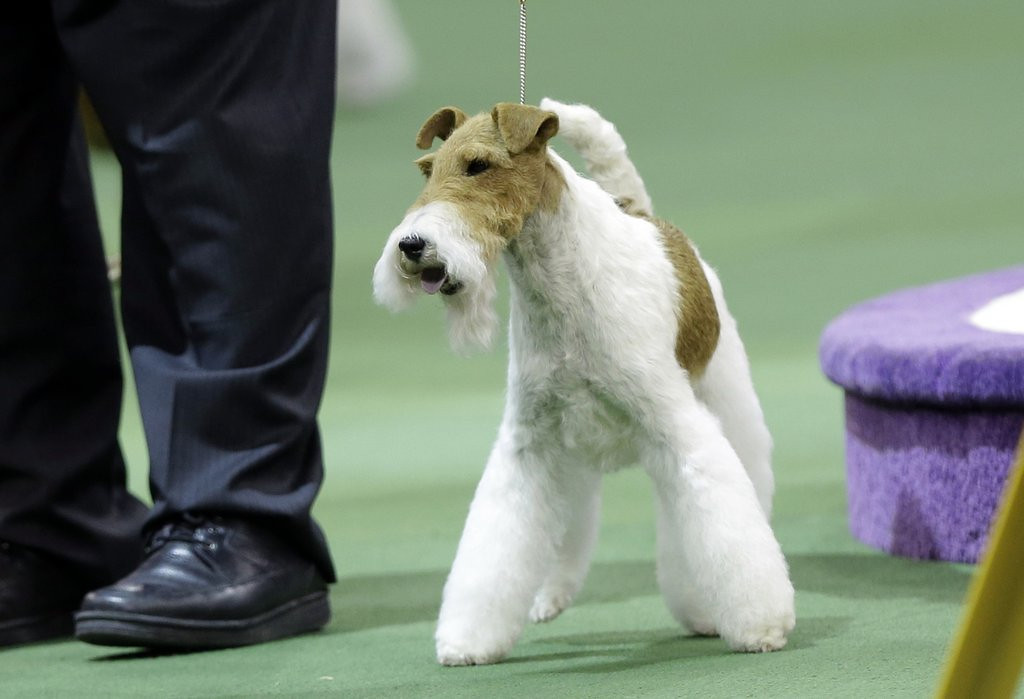 ". <p>9. WESTMINSTER DOG SHOW <p>Still dominated by the Vast Terrier Conspiracy. (7) <p><b><a href=\'http://www.twincities.com/breakingnews/ci_25118988/sky-wire-fox-terrier-who-likes-dressing-u \' target=""_blank\""> HUH?</a></b> <p>    (AP Photo/Frank Franklin II)"