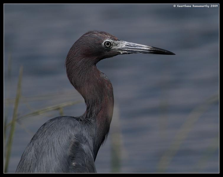 Little Blue Heron, Robb Field, San Diego River, San Diego County, California, August 2009