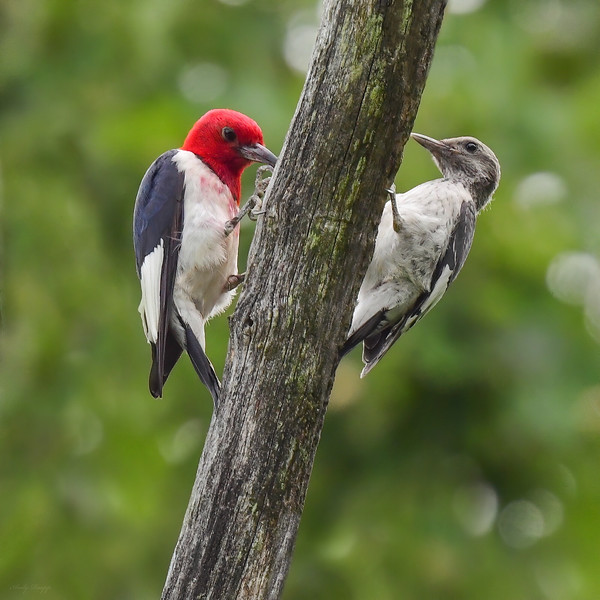 Red headed woodpeckers (adult and juvenile)
