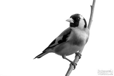 Monochrome Goldfinch