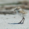 Snowy Plover one day old baby.  April 30, 2013 in Sanibel, Florida.