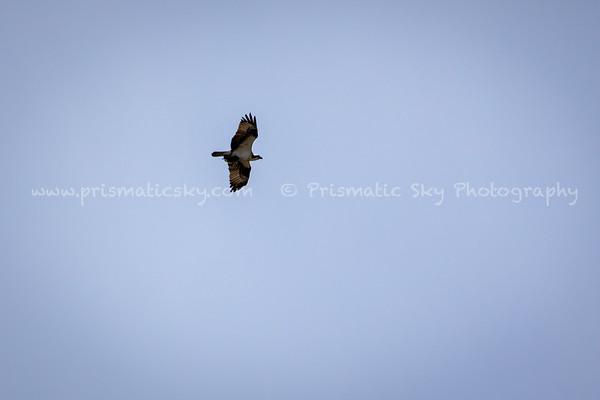 Birds of prey pursuit