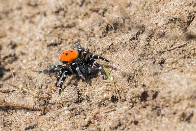 Lady Bird Spider - Mariehøeedderkop
