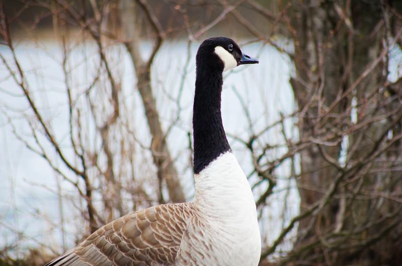 The Elegant Goose