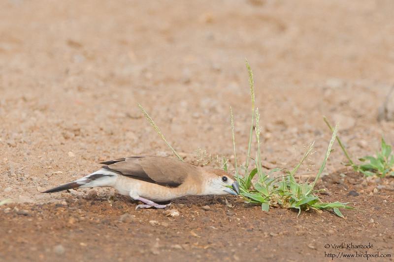 Indian Silverbill - Kutch, Gujrat, India