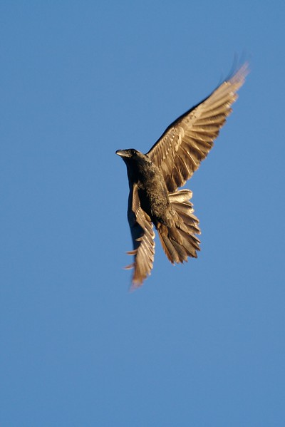The Raven's wedge-shaped tail is most visible in flight [February; Fond du Lac State Forest, Carlton County, Minnesota]