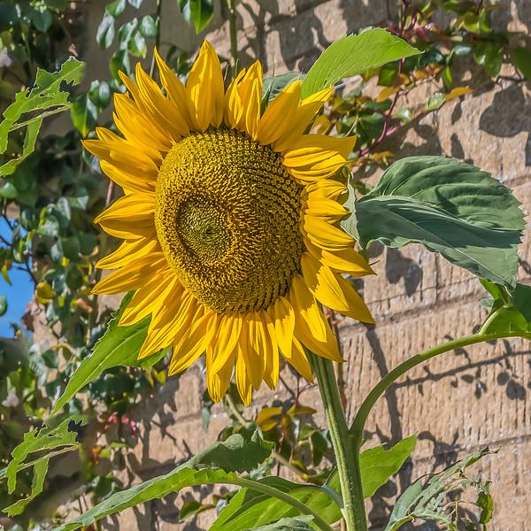 Annabelle's Sunflower crop 500_2886.jpg