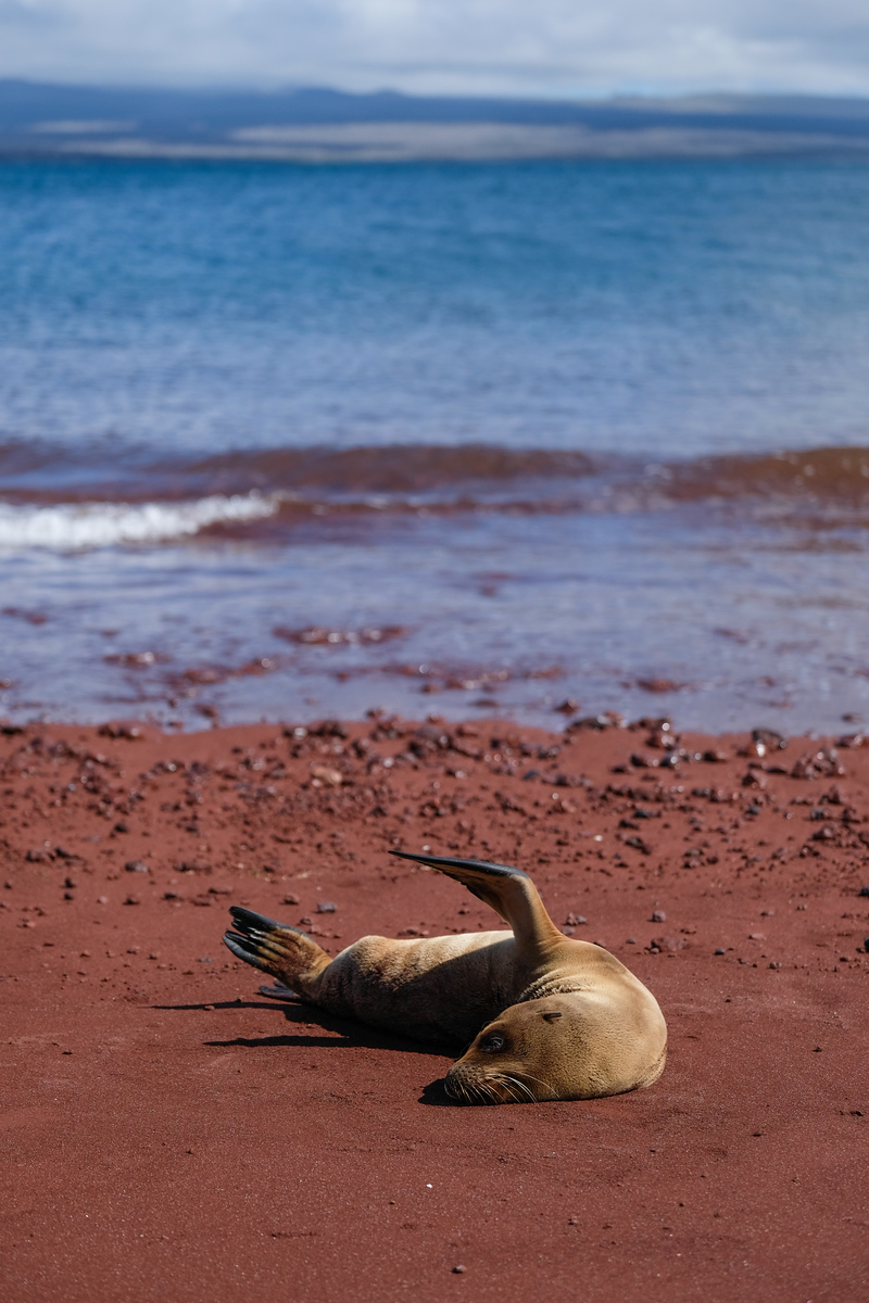 Sealions on red sand beaches