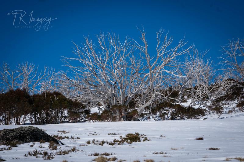 Snow tree 2-0133.jpg