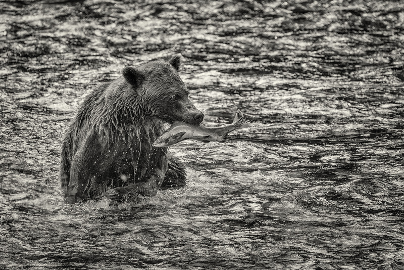 BC-Grizzly-Bears-07756-Edit.jpg