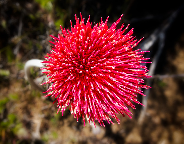 Thistle 1, Uvas Canyon County Park, Morgan Hill, California, 2010