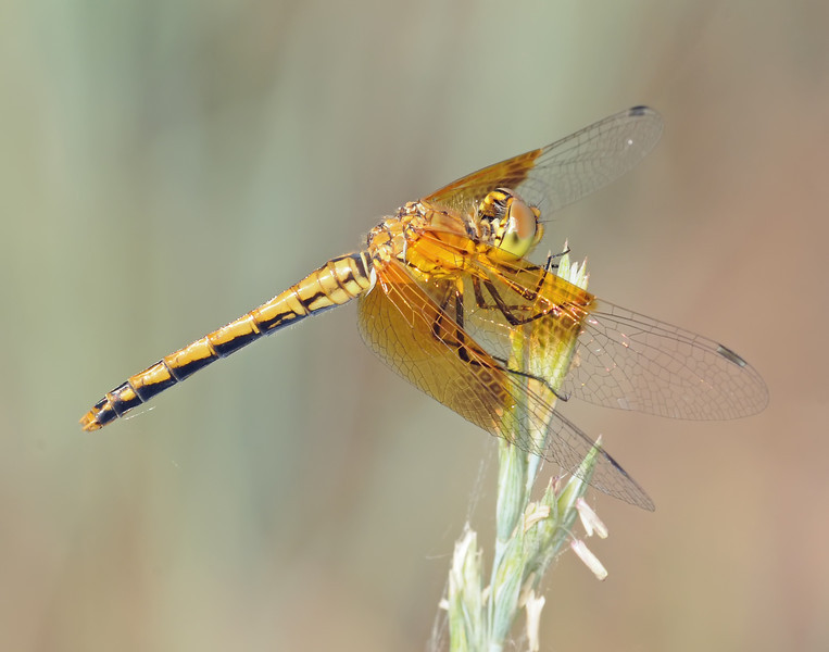 Sympetrum semicinctum occidentale (Band-winged Meadowhawk), CO