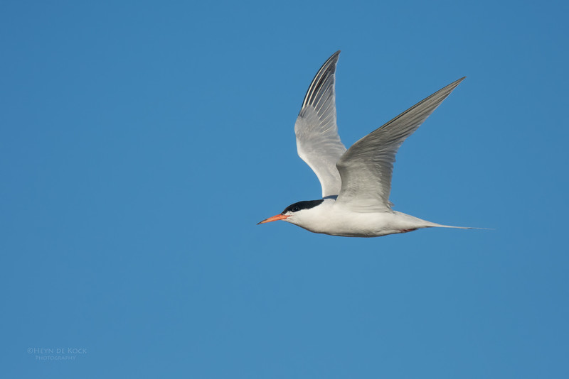 Roseate Tern, Lady Elliot Island, QLD, Dec 2015-14.jpg