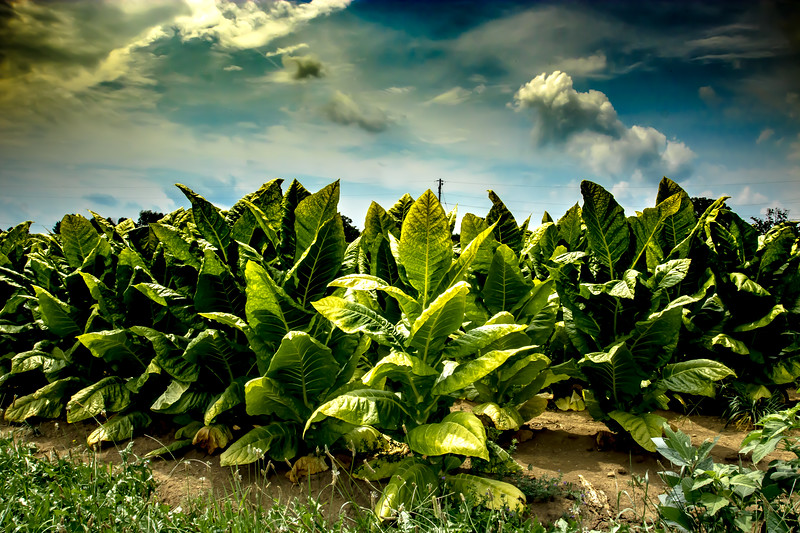 Tobacco Field, Woodford County,  Kentucky