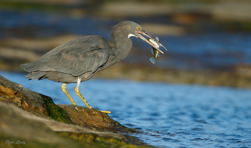 Eastern Reef Egret with fish MASTER.jpg