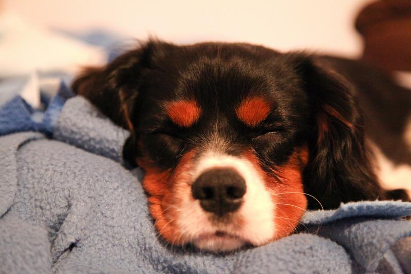 Teddy Roosevelt the dog naps in Mattoon, Illinois on November 20, 2010.  (Jay Grabiec)