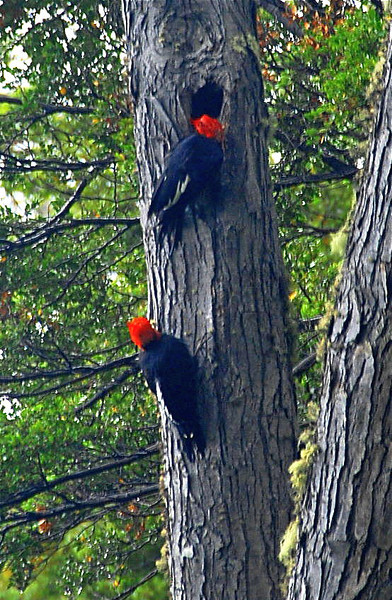 Pair of Megallanic woodpeckers