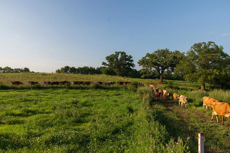 Osinga-farm-cows.jpg
