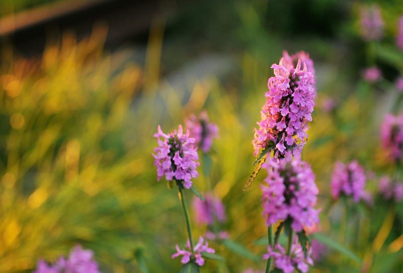 Sunset Hedge Nettle