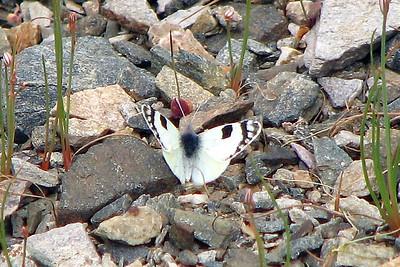 Elphinstonia charlonia