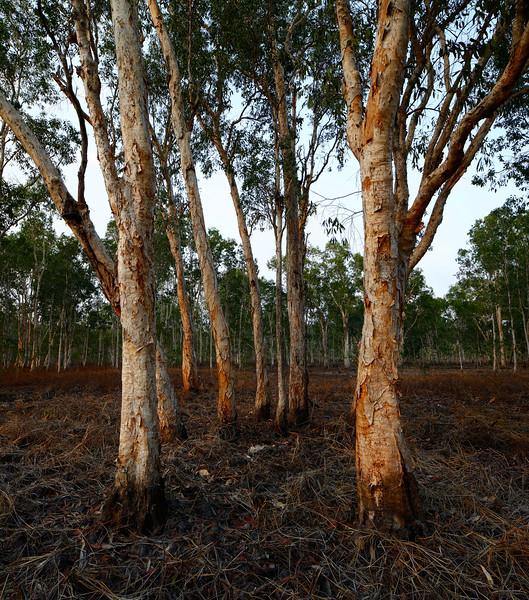 Dry Paperbark Swamp (34 megapixel vertical panorama)
