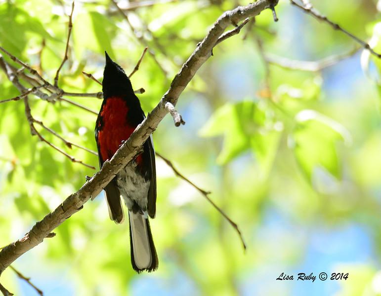 Painted Redstart - 4/20/2014 - Huachuca Canyon, Sierra Vista, Arizona