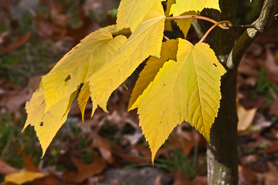 Maples in fall, Asian, other