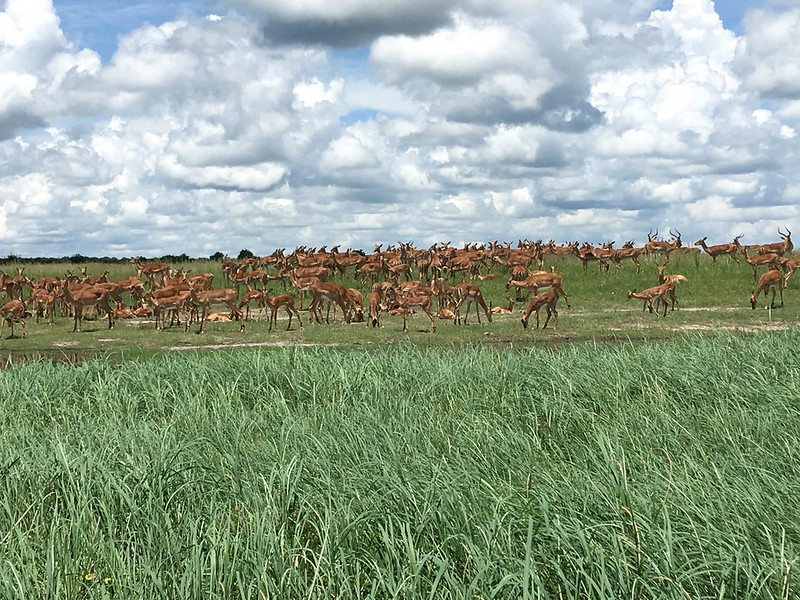 Gazelle herd - Rob Williamson