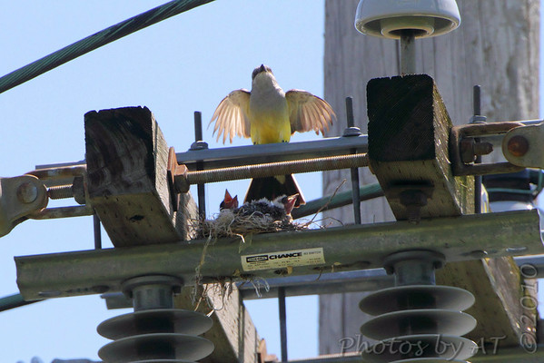 2010-06-30 Western Kingbirds