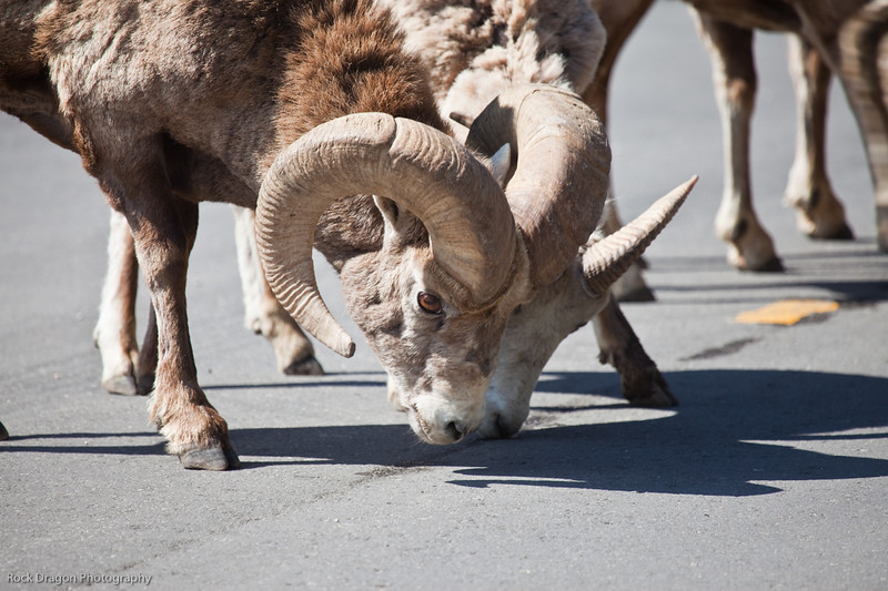 Big Horn Sheep in Banff National Park.