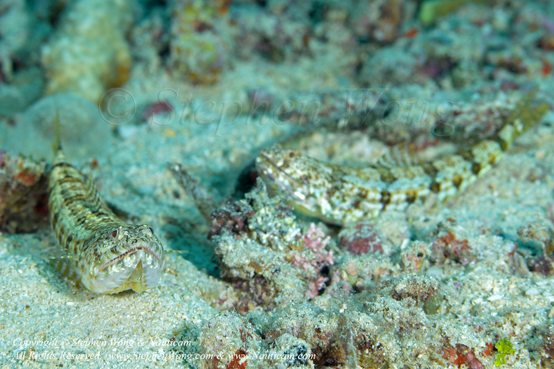 Lizardfish pair 01 0414 Stephen WONG.jpg
