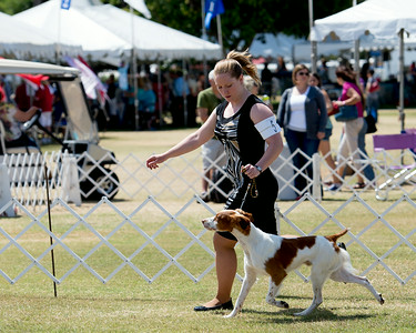 Brittanys 2014 Southern California Sporting Dog Fanciers